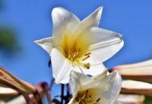 Lilie - prawdziwe królowe każdego ogrodu